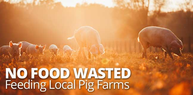 No Food Wasted: Feeding Local Pig Farms
